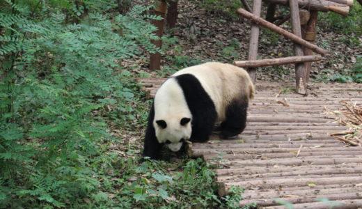 四川でパンダ観光と絶品麻婆豆腐をたべてきた話
